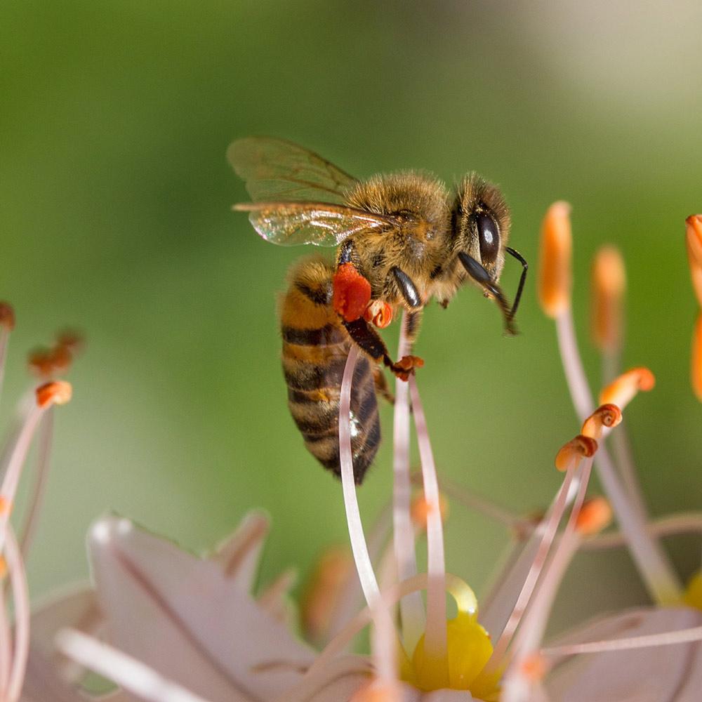 Bienen am ausbalancieren